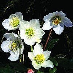 Almindelig julerose 'Praecox' (Helleborus niger 'Praecox') - 1 ltr. potte
