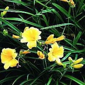 Daglilje (Hemerocallis 'Stella De Oro') - Staude i 2 liter potte