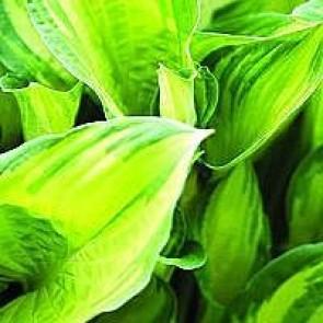 Hosta (Hosta fortunei 'Aureomarginata') - Staude i 1 liter potte - Sælges kun i pakke á 3 stk.