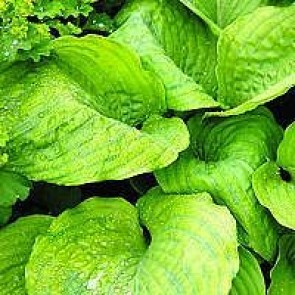 Hosta (Hosta hybrid 'Sum And Substance') - Staude i 1 liter potte