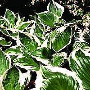 Funkia (Hosta 'Patriot') - Staude i 1 liter potte