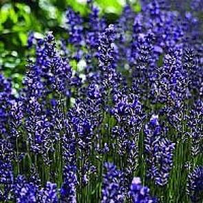 Lavendel (Lavandula angustifolia 'Hidcote Blue') -  CO 10½ cm
