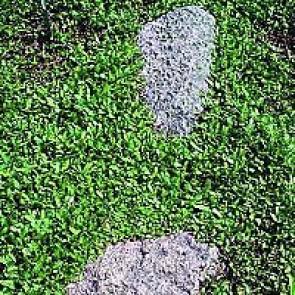 Trædebregne (Leptinella dioica (cotula dioica)) - Staude i 10 x 10 cm potte