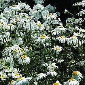 Margerit (Leucanthemum superbum 'Wirral Supreme') - Staude i 1 liter potte