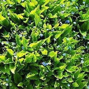 Vår-kærminde (Omphalodes verna) -Staude i 10 x 10 cm potte
