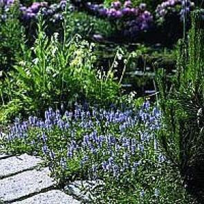 Læge-ærenpris (Veronica officinalis 'Allgrün') - Staude i 10 x 10 cm potte - Sælges kun i pakke á 3 stk.
