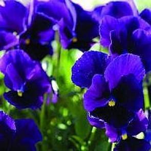 Hornviol (Viola cornuta 'Germanica') - Staude i 10 x 10 cm potte - Sælges kun i pakke á 3 stk.