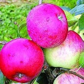Æble 'Rød Ananas' (Malus domestica 'Rød Ananas') , på svag grundstamme - Dværgtræ på 40 cm stamme