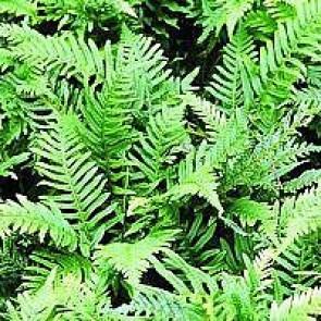 Engelsød (Polypodium vulgare) - Bregne i 10 x 10 cm potte - Sælges kun i pakke á 3 stk.