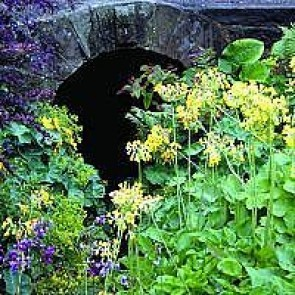 Kæmpeprimula (Primula florindae) - Staude i 10 x 10 cm potte - Sælges kun i pakke á 3 stk.