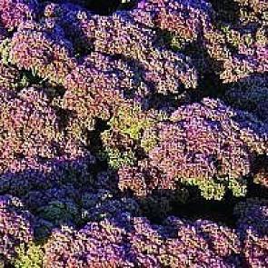 Almindelig sct. hansurt (Sedum 'Herbstfreude') - Staude i 1 liter potte