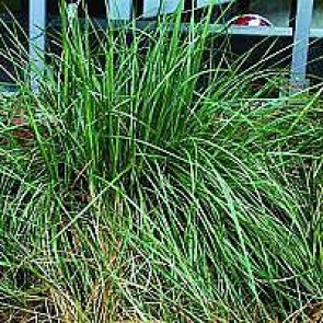 Kæmpefjergræs (Stipa gigantea) - Græs i 1 liter potte - Sælges kun i pakke á 3 stk.