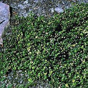 Citrontimian (Thymus citriodorus 'Doone Valley') - Staude i 10 x 10 cm potte