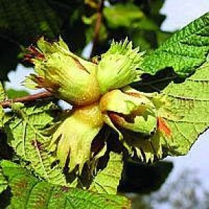 Hassel 'Cosford' (Corylus avellena 'Cosford') - Buske i 10 liters potte
