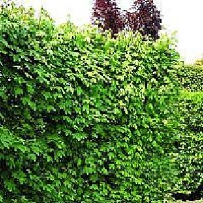 Navr (Acer campestre) - Barrodet hæk 50-80 cm 2 år