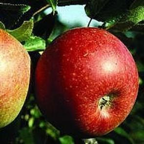 Æble 'Aroma' (Malus domestica 'Aroma') ,midddelvoksende -3 års træ i potte 150-200 cm