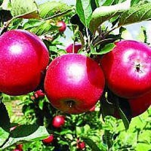 Æble 'Discovery' (Malus domestica 'Discovery'), på svag grundstamme - Dværgtræ på 40 cm stamme