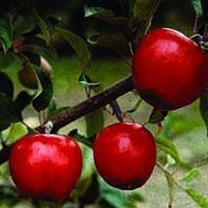 Æble 'Elstar' (Malus domestica 'Elstar'), espalier - 2 års træ med 3 etager