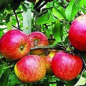 Æbletræ 'Topaz' (Malus domestica 'Topaz') på kraftig grundstamme - Træ i potte 175-200 cm