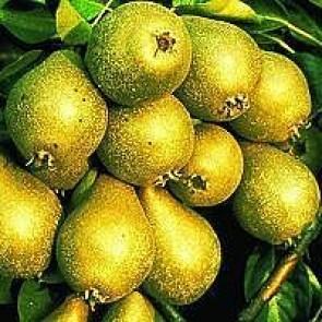 Almindelig pære (Pyrus communis 'Gråpære') - 3 års træ i potte 150-200 cm