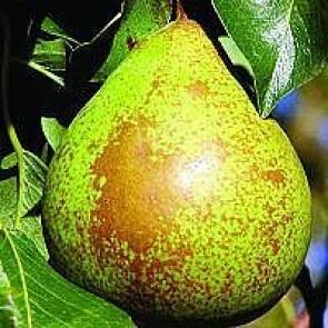 Pære 'Herrepære' (Pyrus communis 'Herrepære') middelvoksende - 3 års træ i potte 150-200 cm