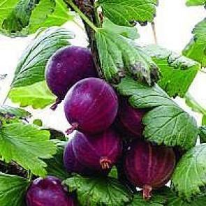 Stikkelsbær 'Hinnonmäki Rød' (Ribes uva-crispa 'Hinnonmäki Rød') - Podet på 60 cm stamme