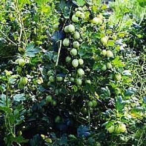 Stikkelsbær 'Invicta' (Ribes uva-crispa 'Invicta') - Buske i 5 liters potte