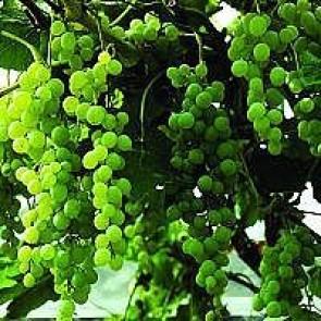 Vindrue 'Himrod' (Vitis vinifera 'Himrod') - Buske i 2 liters potte 60 cm