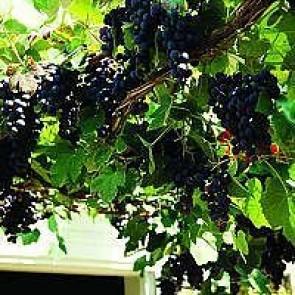 Vindrue 'Schuyler' (Vitis vinifera 'Schuyler') - Buske i 2 liters potte 60 cm