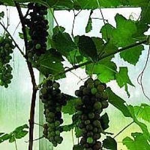 Vindrue 'Vanessa' (Vitis vinifera 'Vanessa') - Buske i 2 liters potte 60 cm
