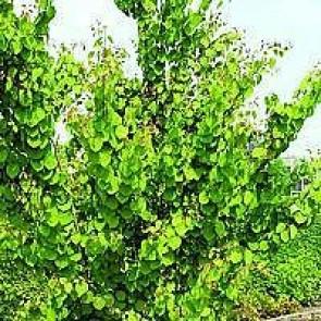 Hjertetræ (Cercidiphyllum japonicum) - Busk i potte