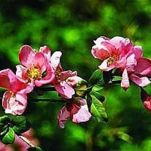 Japansk kvæde (Chaenomeles superba 'Pink Lady') - Buske i 5 liter potte