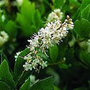 Liljekonvalbusk (Clethra alnifolia 'Hummingbird') - Co buske
