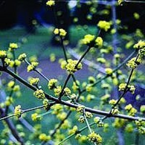 Kirsebærkornel (Cornus mas) - Buske i 5 liters potte