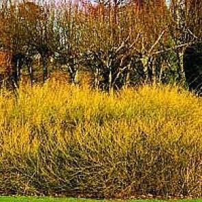 Guldkornel (Cornus stolonifera 'Flaviramea') - Buske i 5 liters potte