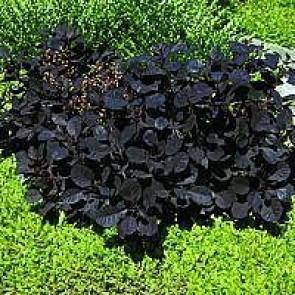 Parykbusk (Cotinus coggygria 'Royal Purple') - Buske i 3½ liters potte