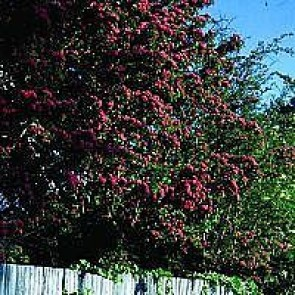 Rødtjørn (Crataegus laevigata 'paul'S Scarlet') - Træ i potte 175-200 cm