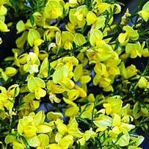 Vårgyvel (Cytisus praecox 'Allgold') - Buske i 3½ liters potte