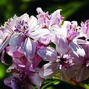 Stjernetop (Deutzia hybrida 'Mont Rose') - Buske i 3½ liters potte