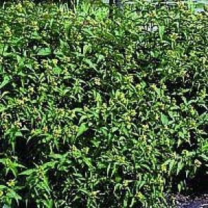 Diervilla (Diervilla sessilifolia 'Dise') - CO buske