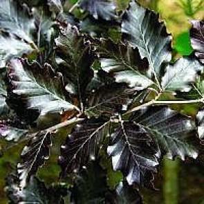 Søjlebøg (Fagus sylvatica 'Dawyck') - Træ i potte 150-175 cm