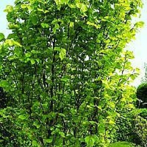 Søjlebøg (Fagus sylvatica 'Dawyck Gold') - Træ i potte 125-150 cm