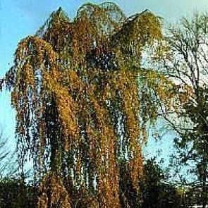Hængebøg (Fagus sylvatica 'Pendula') - Træ i potte 150-175 cm