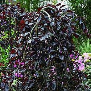 Hænge-blodbøg (Fagus sylvatica 'Purpurea Pendula') - Træ i potte 175-200 cm