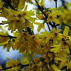 Vårguld (Forsythia intermedia 'Weekend') - Buske i 5 liters potte