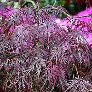 Rød Japansk dværgløn (Acer palmatum 'Dissectum Garnet') - 4ltr. potte 40-50 cm