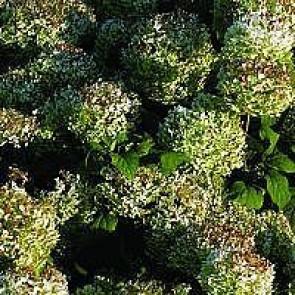 Træagtig hortensia (Hydrangea arborescens 'Annabelle') - Buske i 5 liters potte