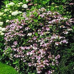 Hortensia 'Blue Bird' (Hydrangea serrata 'Blue Bird') - Buske 5 liters potte