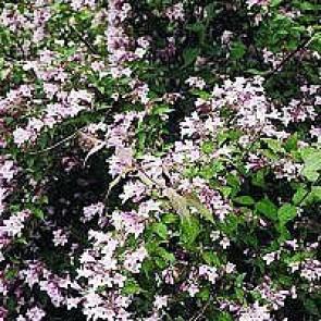 Dronningebusk (Kolkwitzia amabilis) - Buske i 5 liters potte