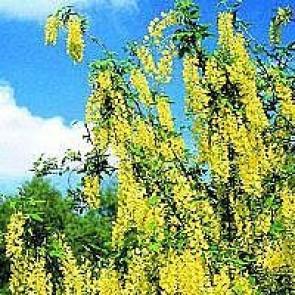 Voss-guldgren (Laburnum watereri 'Vossii') - TH 175-200 cm